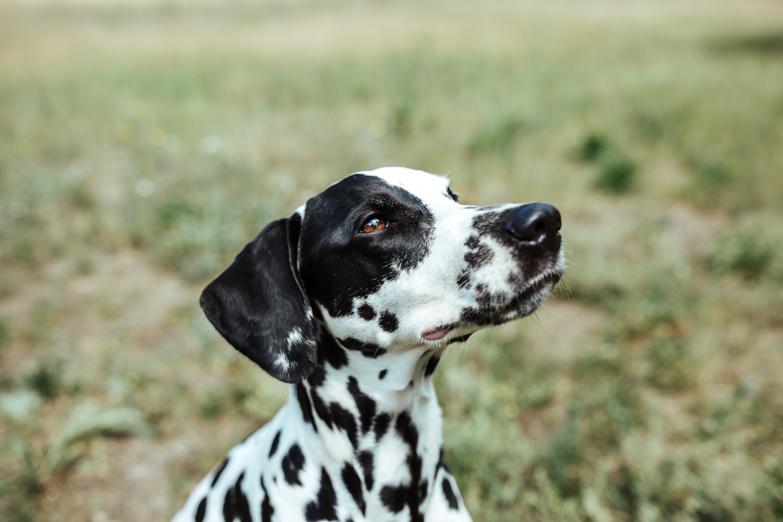 Dog It Right Dalmatiner